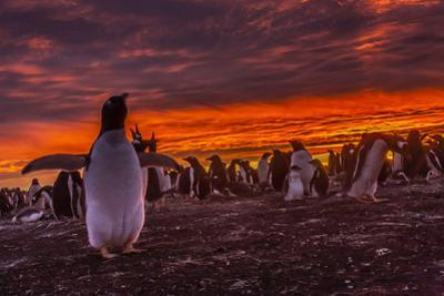 Falkland Islands, Sea Lion Island. Gentoo Penguin Colony at Sunset by Cathy & Gordon Illg