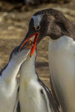Falkland Islands, Sea Lion Island. Gentoo Penguin Feeding Chicks by Cathy & Gordon Illg