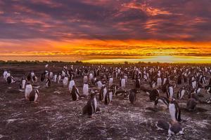 Falkland Islands, Sea Lion Island. Gentoo Penguins Colony at Sunset by Cathy & Gordon Illg