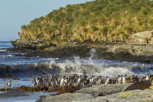 Falkland Islands, Sea Lion Island. Magellanic Penguins and Surf by Cathy & Gordon Illg
