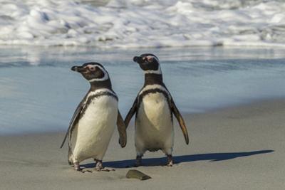 Falkland Islands, Sea Lion Island. Magellanic Penguins on Beach by Cathy & Gordon Illg