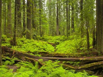 Forest Floor, Humboldt Redwood National Park, California, USA