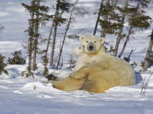 Polar Bear Cub Playing With a Watchful Mother, Wapusk National Park, Manitoba, Canada by Cathy & Gordon Illg