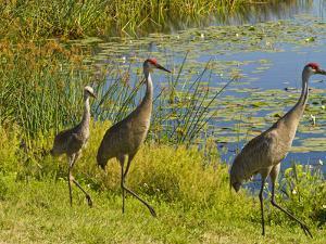 Sandhill Crane, Florida, USA by Cathy & Gordon Illg