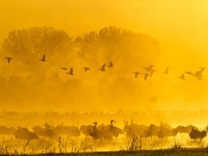 Sandhill Cranes, Bosque Del Apache National Wildlife Refuge, New Mexico, USA by Cathy & Gordon Illg