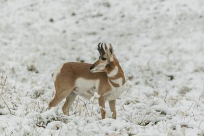 South Dakota, Custer SP. Pronghorn Antelope in Snow-Covered Field by Cathy & Gordon Illg
