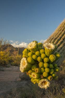 USA, Arizona, Saguaro NP. Close-up of Saguaro Cactus Blossoms by Cathy & Gordon Illg
