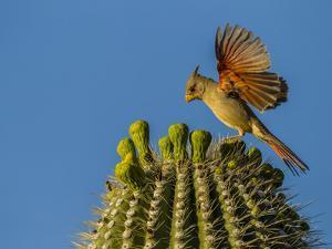 USA, Arizona, Sonoran Desert. Pyrrhuloxia Bird Lands on Saguaro Buds by Cathy & Gordon Illg