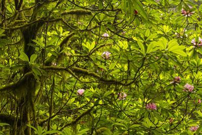 USA, California, Redwoods National Park. Rhododendrons in Forest by Cathy & Gordon Illg