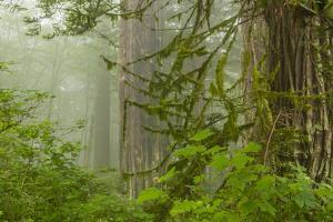 USA, California, Redwoods NP. Fog in Ladybird Johnson Grove by Cathy & Gordon Illg