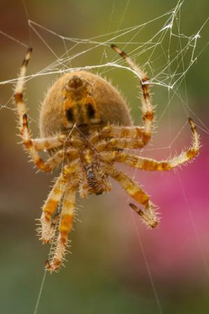 USA, Colorado, Jefferson County. Orb-Weaver Spider Close-up by Cathy & Gordon Illg