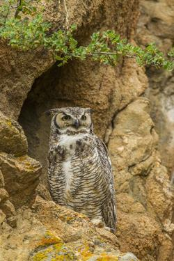USA, Colorado, Larimer County. Great Horned Owl on Rocky Ledge by Cathy & Gordon Illg