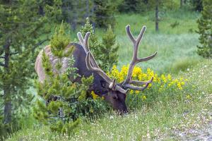 USA, Colorado, Rocky Mountain National Park. Bull Elk Grazing by Cathy & Gordon Illg