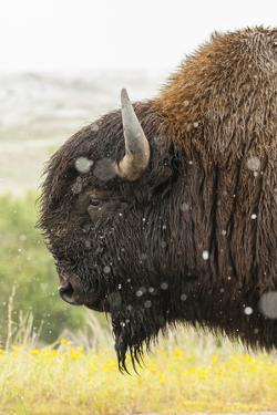 USA, South Dakota, Custer State Park. Profile of Bison by Cathy & Gordon Illg