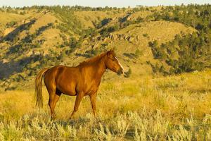 USA, South Dakota, Wild Horse Sanctuary. Wild Horse in Field by Cathy & Gordon Illg