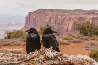 USA, Utah, Canyonlands National Park. Pair of Ravens on Log