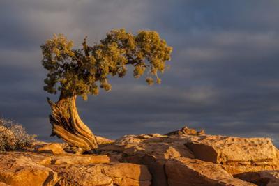 USA, Utah, Dead Horse Point State Park. Sunrise on Juniper Tree by Cathy & Gordon Illg