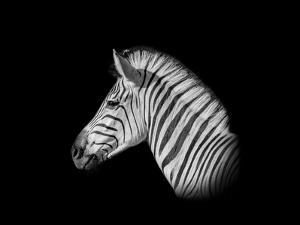 A Monochrome Side Profile Head Portrait of a Burchell's Zebra by Cathy Withers-Clarke