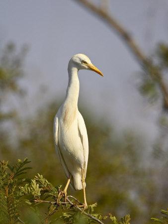 https://imgc.allpostersimages.com/img/posters/cattle-egret-kruger-national-park-south-africa-africa_u-L-P7NGYO0.jpg?p=0