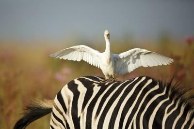 https://imgc.allpostersimages.com/img/posters/cattle-egret-on-zebra_u-L-PZRZJY0.jpg?p=0