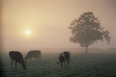 https://imgc.allpostersimages.com/img/posters/cattle-grazing-at-dawn-on-a-misty-morning-dorset-england_u-L-Q13A9ZP0.jpg?p=0
