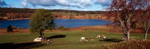 Cattle Grazing in a Field, Lac De Bellefontaine, Bellefontaine, Jura, Franche-Comte, France