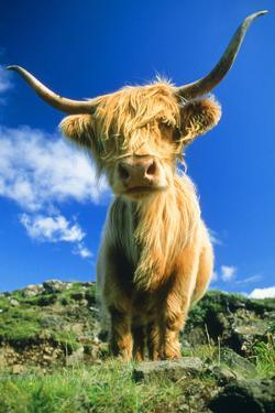 Cattle, Highland Cow