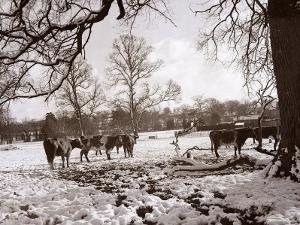 Cattle Pictured in the Snow at Shenley, Hertfordshire, January 1935