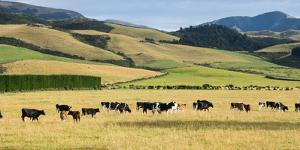 Cattle viewed from Trans-Alpine train from Christchurch to Arthur's Pass, Canterbury, South Isla...