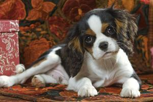 Cavalier King Charles Dog Puppy