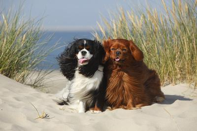 https://imgc.allpostersimages.com/img/posters/cavalier-king-charles-spaniels-with-tricolor-and-ruby-colourations-on-beach-texel-netherlands_u-L-Q13A9W70.jpg?p=0