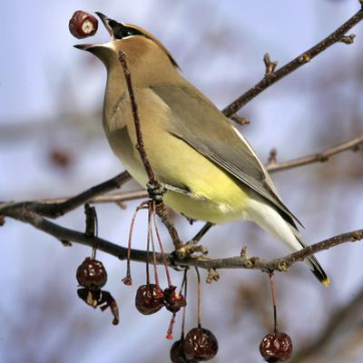 Cedar Waxwing Tosses Up a Fruit from a Flowering Crab Tree at the Town Hall