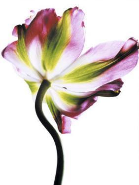 Tulip by Cédric Porchez