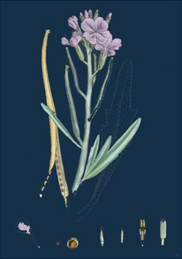 Centaurea Cyanus; Blue-Bottle