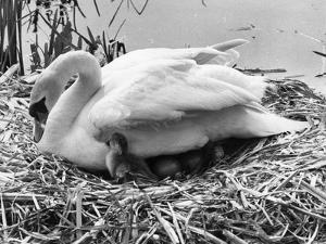First Cygnet Emerges by Central Press