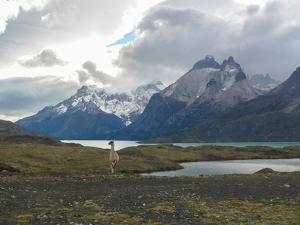 Guanaco Patagonia by Cesar Gonzalez Palomo