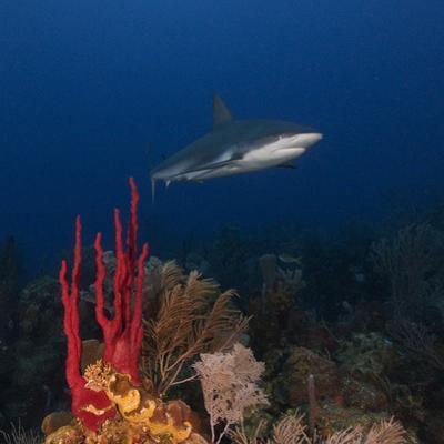 A Caribbean Reef Shark Swims in Waters Off Roatan Island by Cesare Naldi