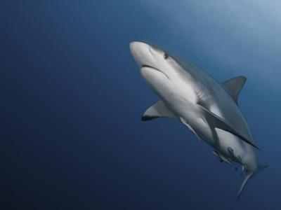 A Caribbean Reef Shark, with Attached Remoras, Swims in Waters Off Roatan Island by Cesare Naldi