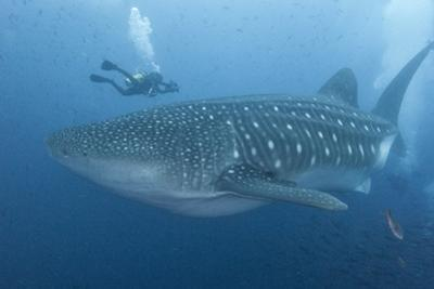 A Diver Approaches a Whale Shark, Rhincodon Typus by Cesare Naldi