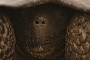 A Galapagos Giant Tortoise Retracts its Head in the Shell by Cesare Naldi