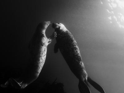 A Pair of Seals Swim in Waters Off the Farne Islands by Cesare Naldi