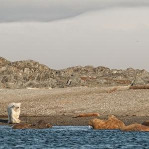 A Polar Bear Confronts Walruses on a Beach by Cesare Naldi