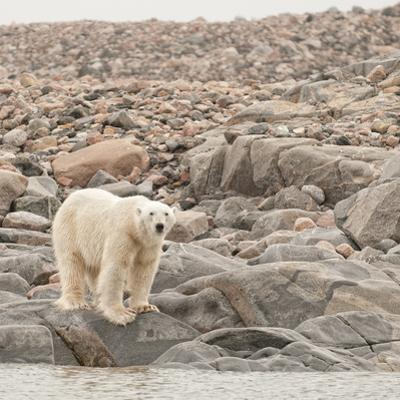 A Polar Bear Stands on Rocks at the Water's Edge by Cesare Naldi