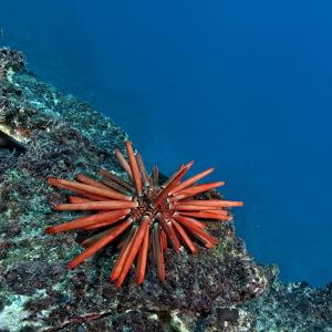 A Red Slate Pencil Urchin by Cesare Naldi