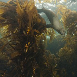 A Sea Lion Swims in a Bed of Kelp Off Santa Barbara Island by Cesare Naldi