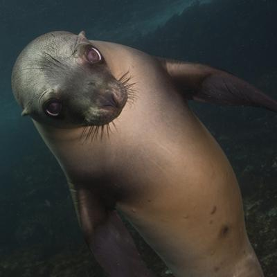 A Sea Lion Swims in Waters Off the Channel Islands by Cesare Naldi