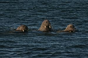 A Trio of Walruses Swim in Waters Off Svalbard by Cesare Naldi