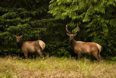 An Elk Pair in a Meadow by Cesare Naldi