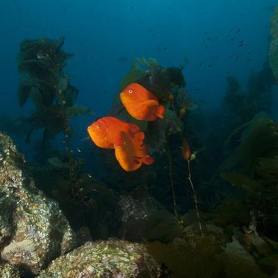 Garibaldi Fish Swim in a Bed of Kelp by Cesare Naldi