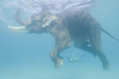 Rajan, the Elephant, Swims Near a Diver in the Andaman Islands, India by Cesare Naldi